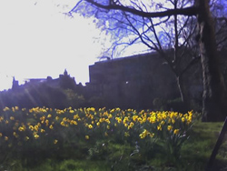 Daffodils in Kensington