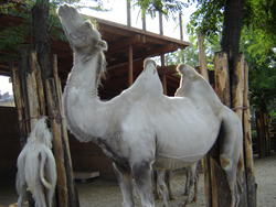 Bactrian Camels at the Budapest Zoo